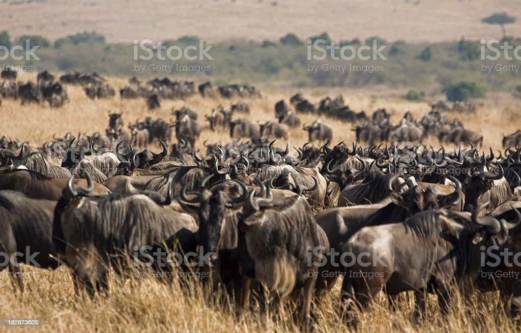 Wildebeest herd stock photo