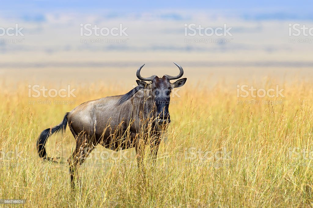 Wildebeest in National park of Africa stock photo