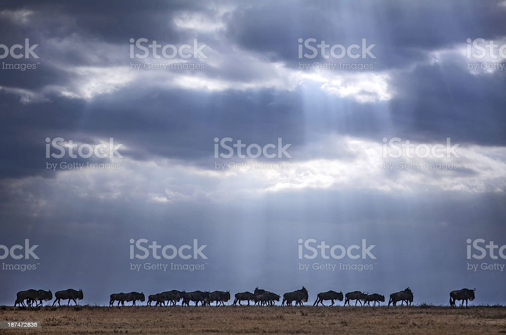 wildebeest in single file stock photo