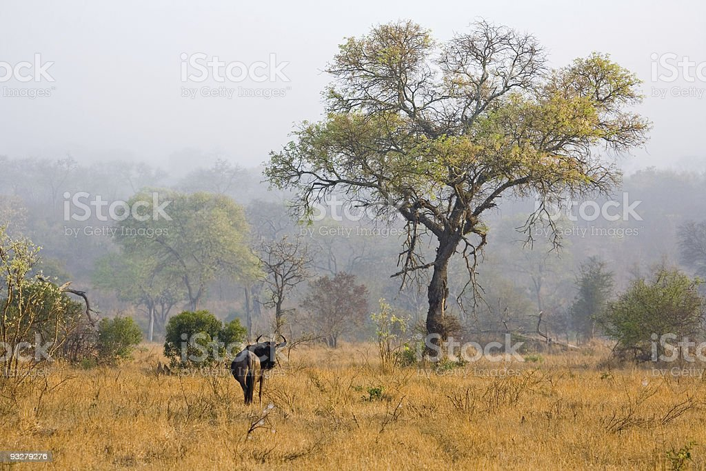 Wildebeest in the mist of a South African dawn stock photo