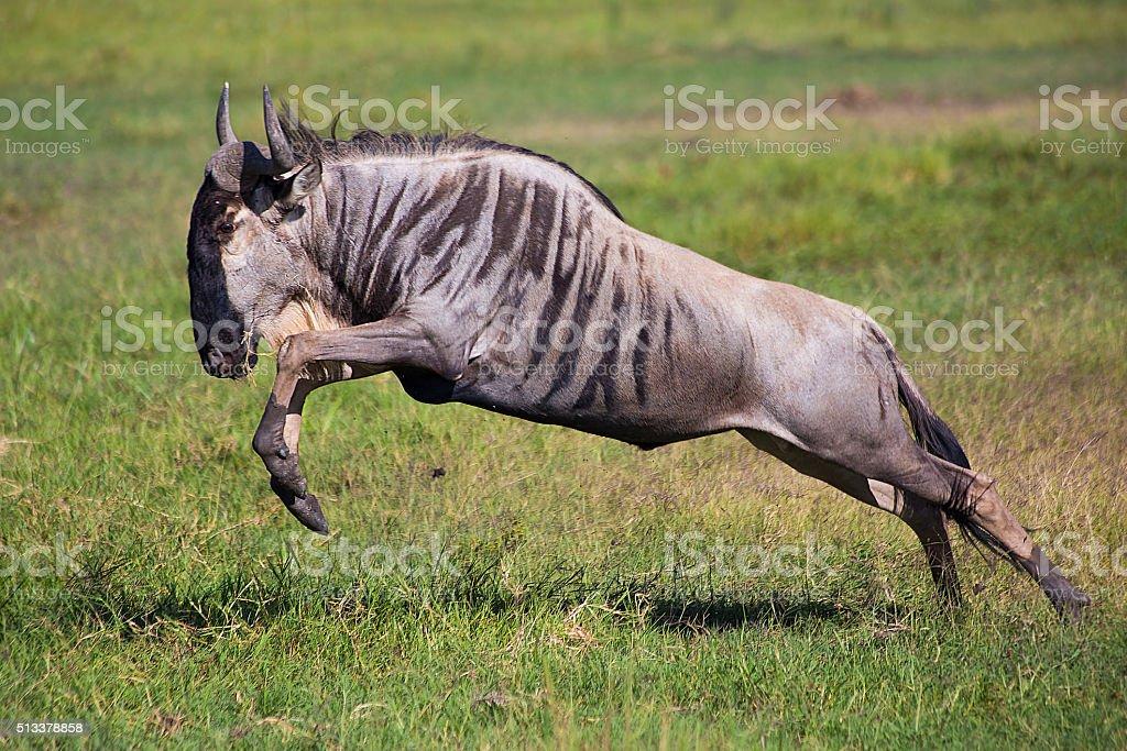 Wildebeest jump, running antelope in african savannah stock photo