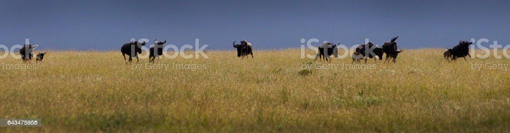 wildebeest Kenya stock photo