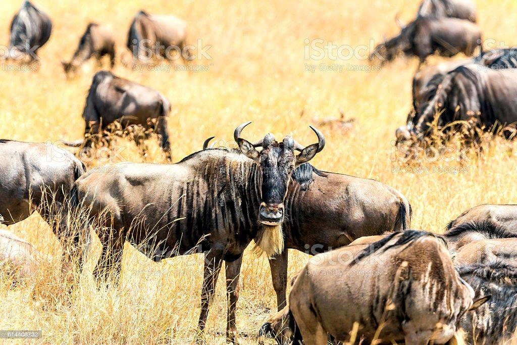 wildebeest looking stock photo