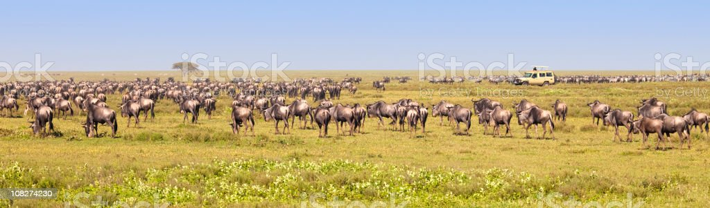 Wildebeest Migration by African Safari Truck royalty-free stock photo