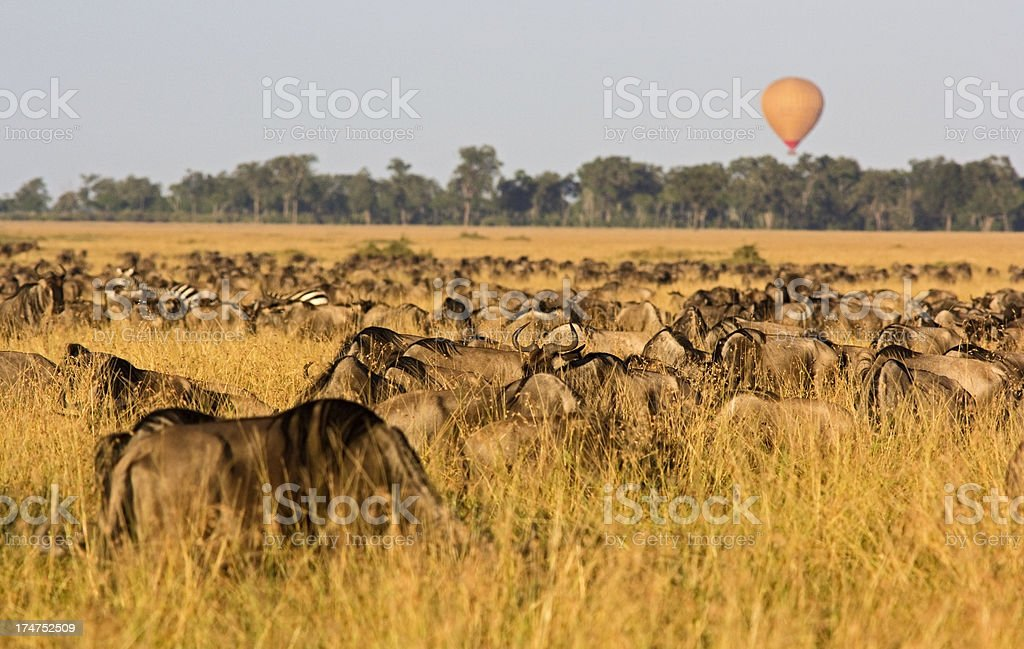 Wildebeest migration royalty-free stock photo