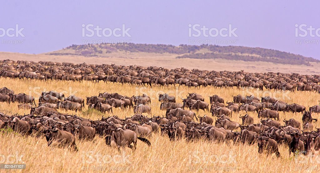 Wildebeest migration stock photo