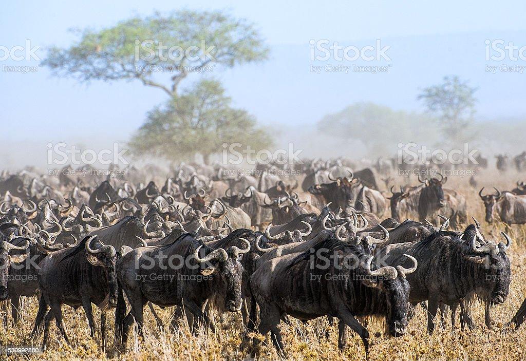 Wildebeest migration. stock photo