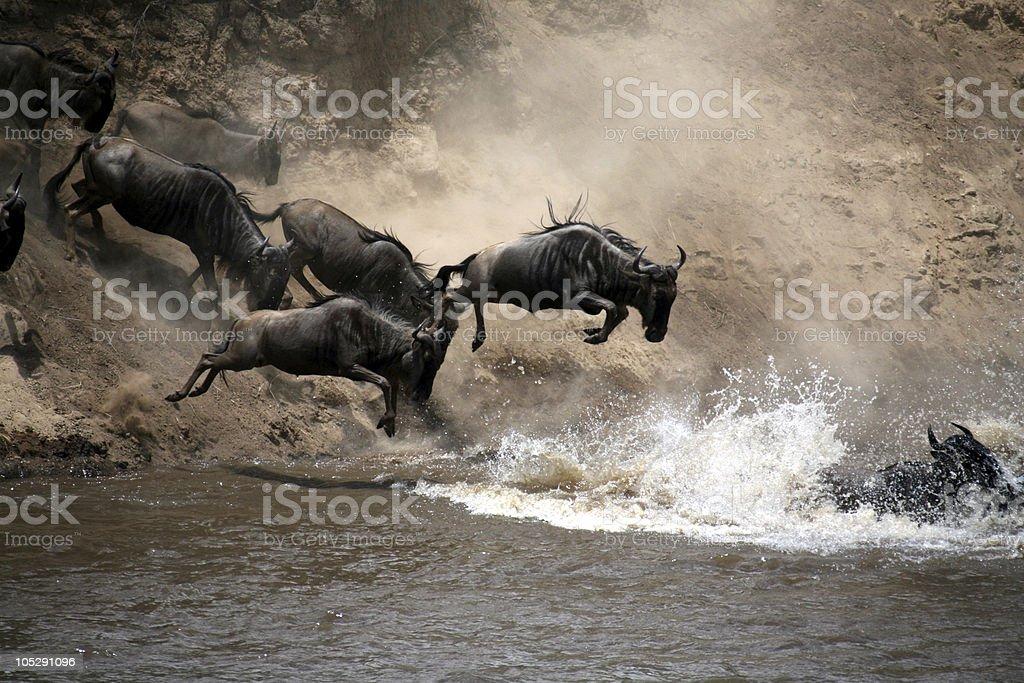Wildebeest (Masai Mara; Kenya) royalty-free stock photo