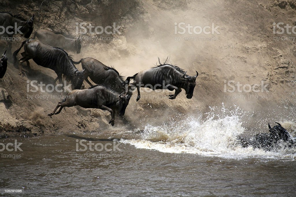 Wildebeest (Masai Mara; Kenya) stock photo