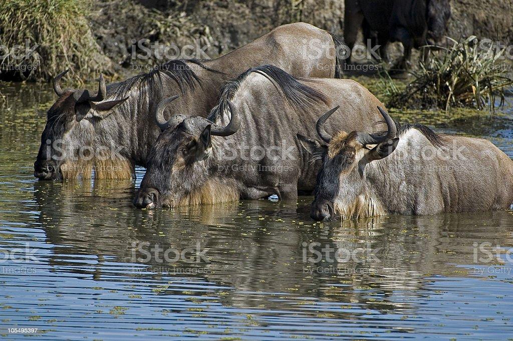 Wildebeest royalty-free stock photo
