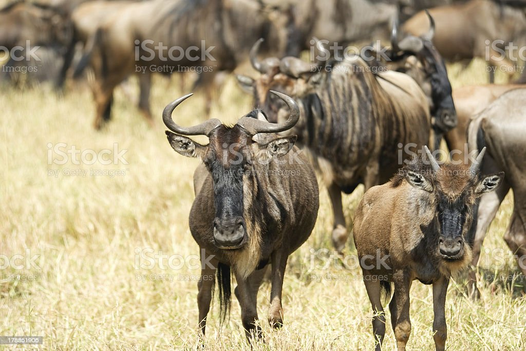 wildebeest royalty-free stock photo