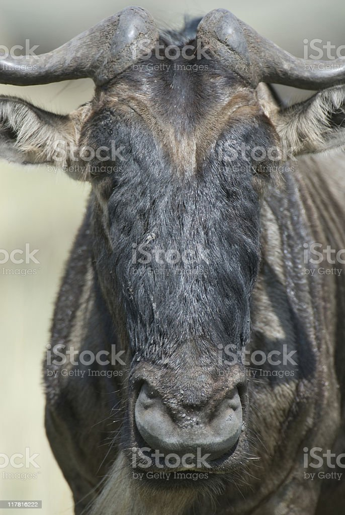 Wildebeest Portrait (Connochaetes). stock photo