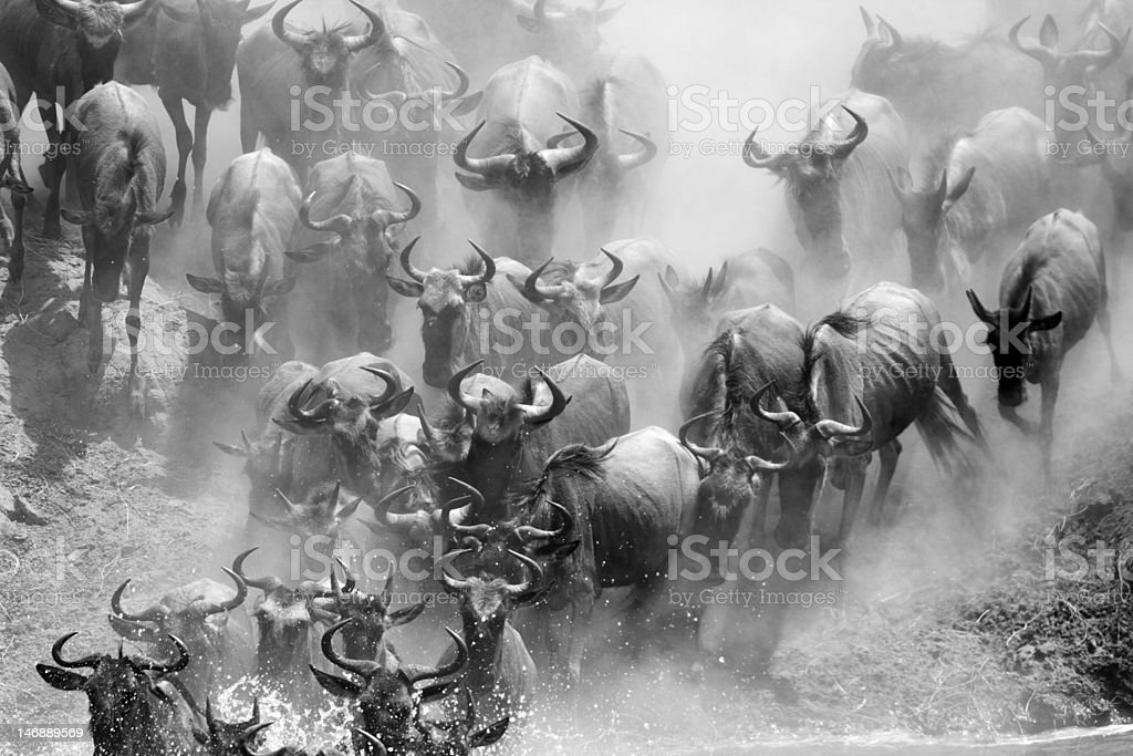 Wildebeest river crossing during the 2010 migration, Serengeti stock photo