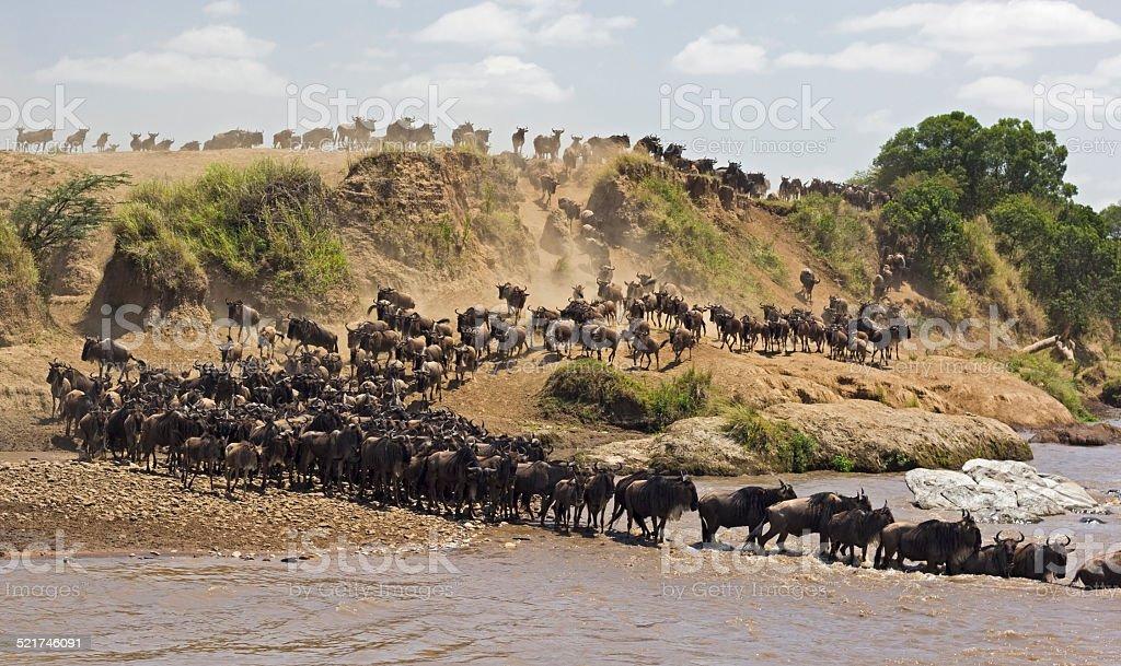 Wildebeest river crossing stock photo