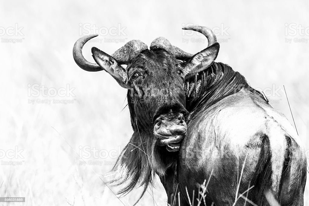 Wildebeest scratching with teeth stock photo