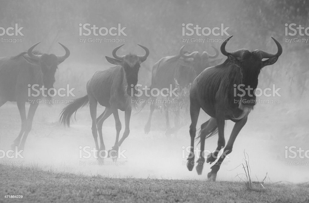 Wildebeest stampede royalty-free stock photo