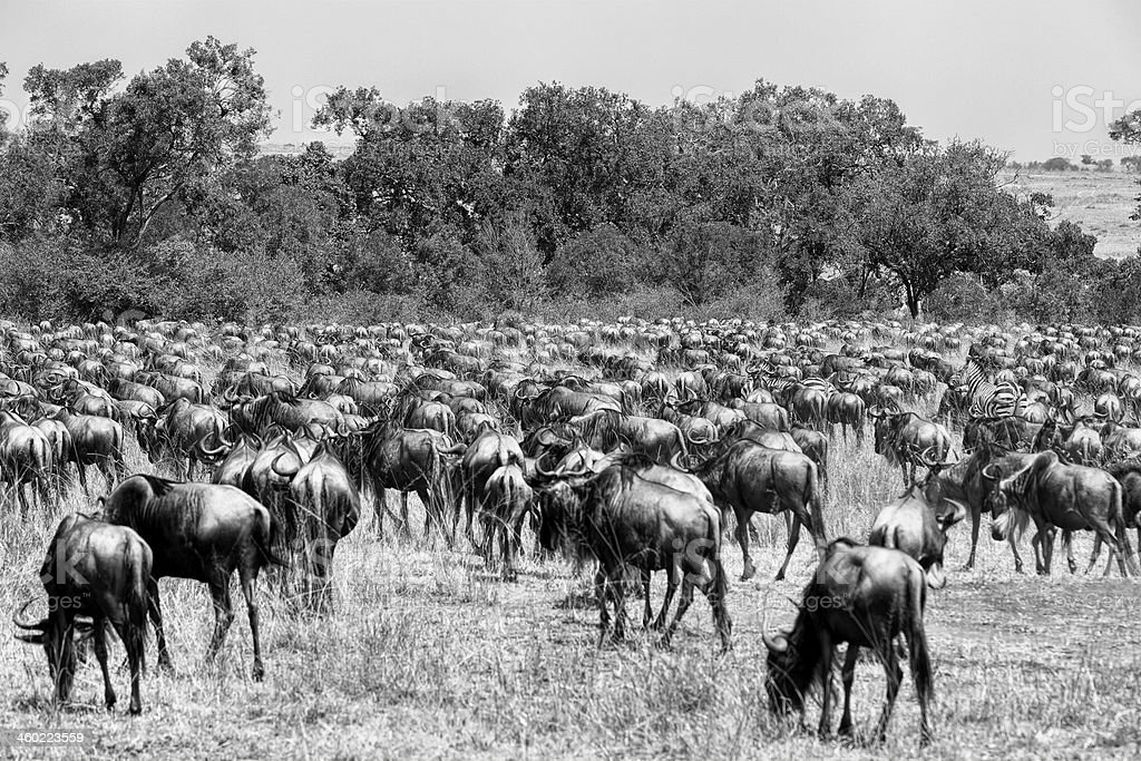 Wildebeests and Zebras - feeding stock photo