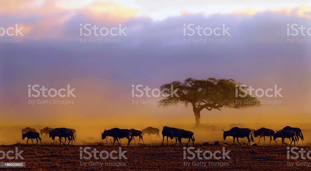Wildebeests at dawn, Amboseli National Park stock photo