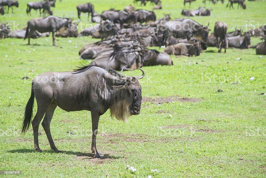 Wildebeests stock photo