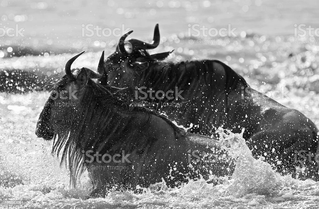 Wildebest river crossing royalty-free stock photo