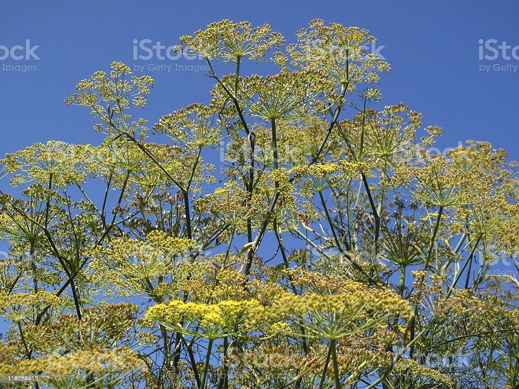 Wilder Fenchel - 'Foeniculum vulgare' royalty-free stock photo