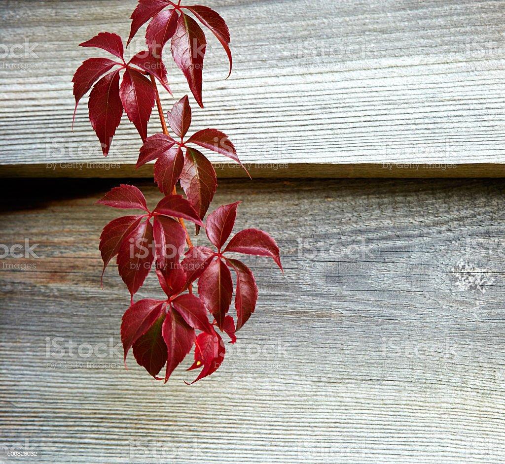 Wilder Wein im Herbst stock photo