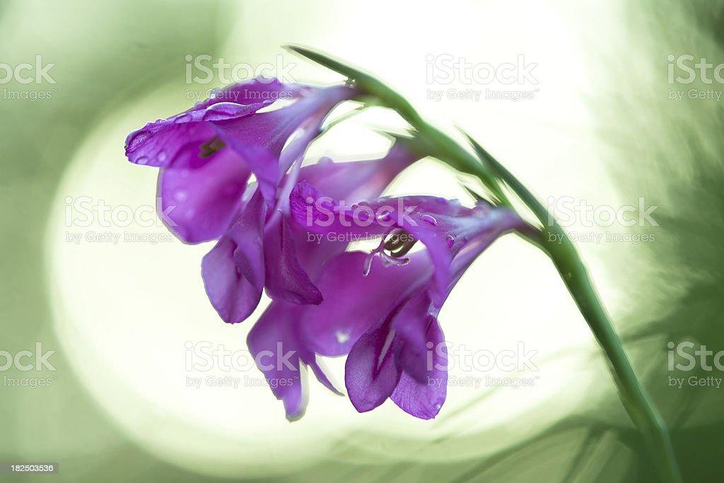 wilderness gladiolus flower royalty-free stock photo