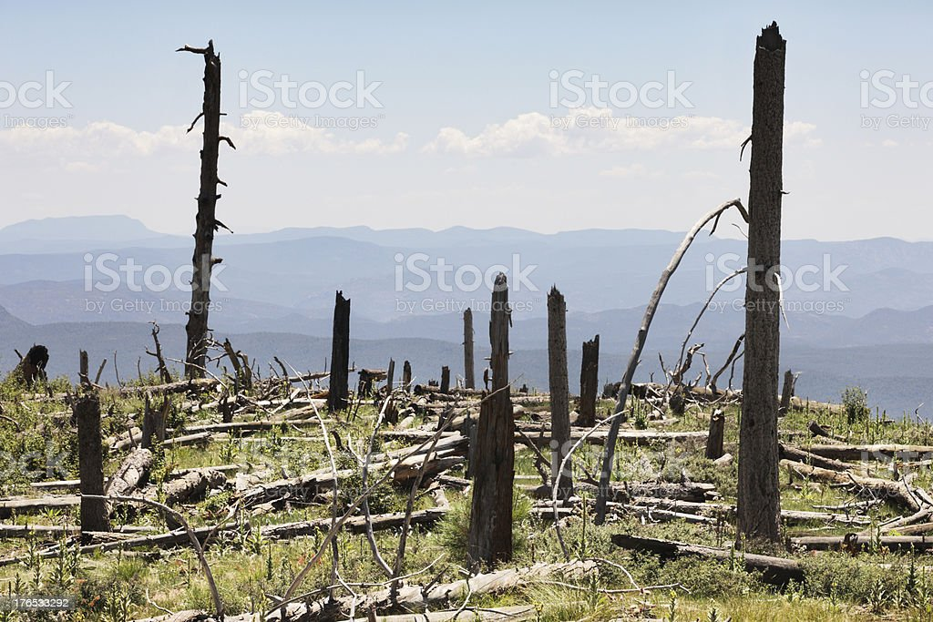 Wildfire Reforestation Mogollon Rim Coconino Forest stock photo