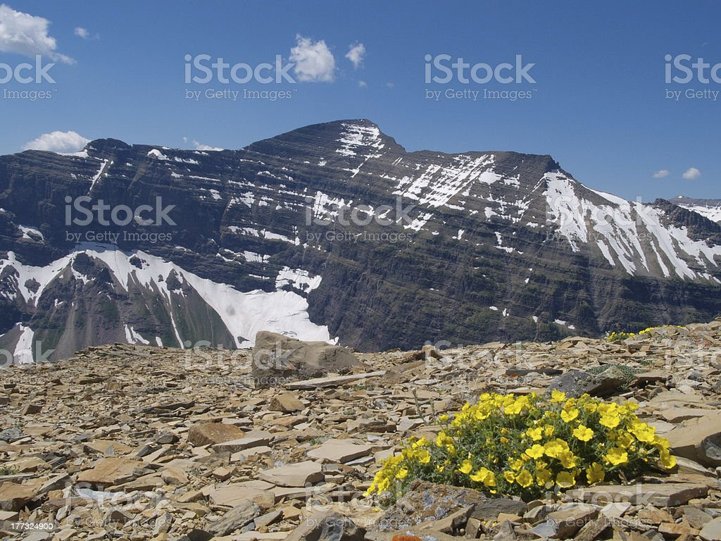 wildflower atop dawson pass royalty-free stock photo