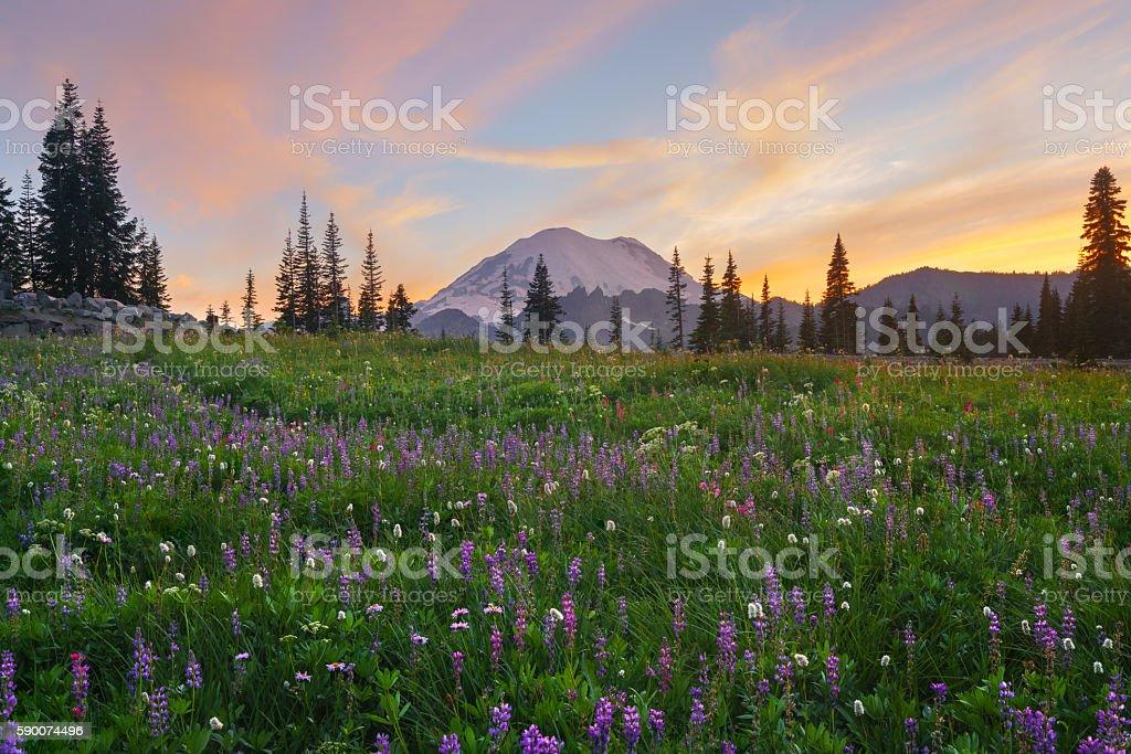 Wildflower Blooming at Tipsoo Lake, Mt.Rainier royalty-free stock photo