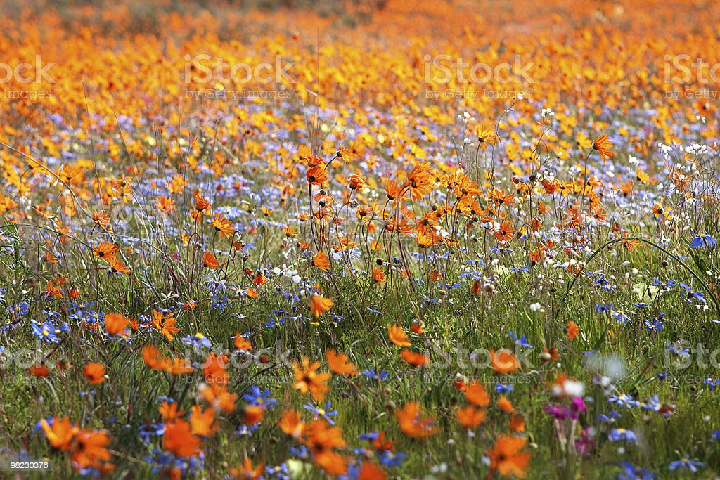 Wildflower carpet royalty-free stock photo