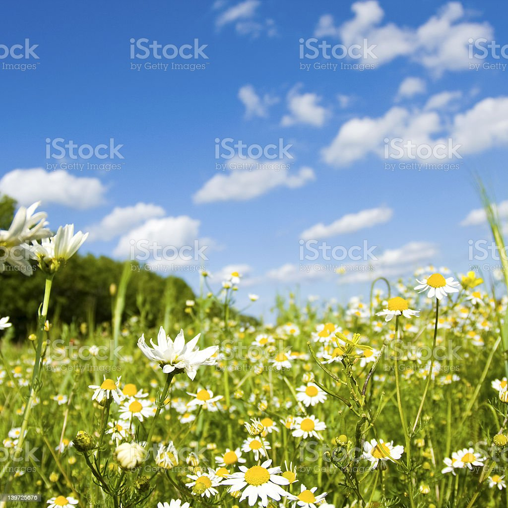 Wildflower, in meadow. royalty-free stock photo