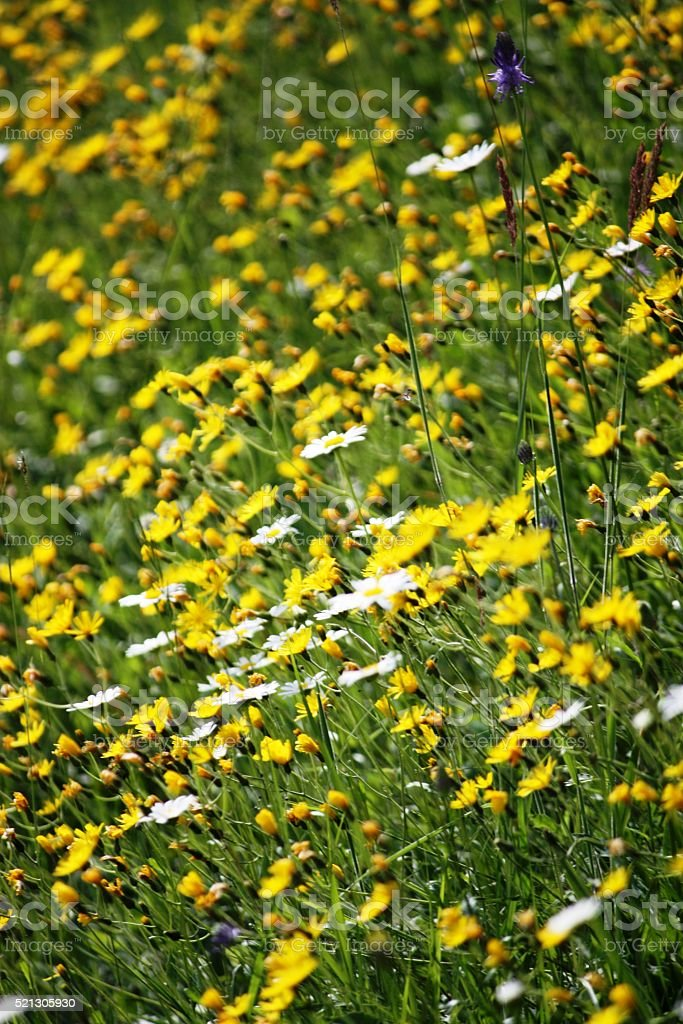 Wildflower meadow in summer stock photo