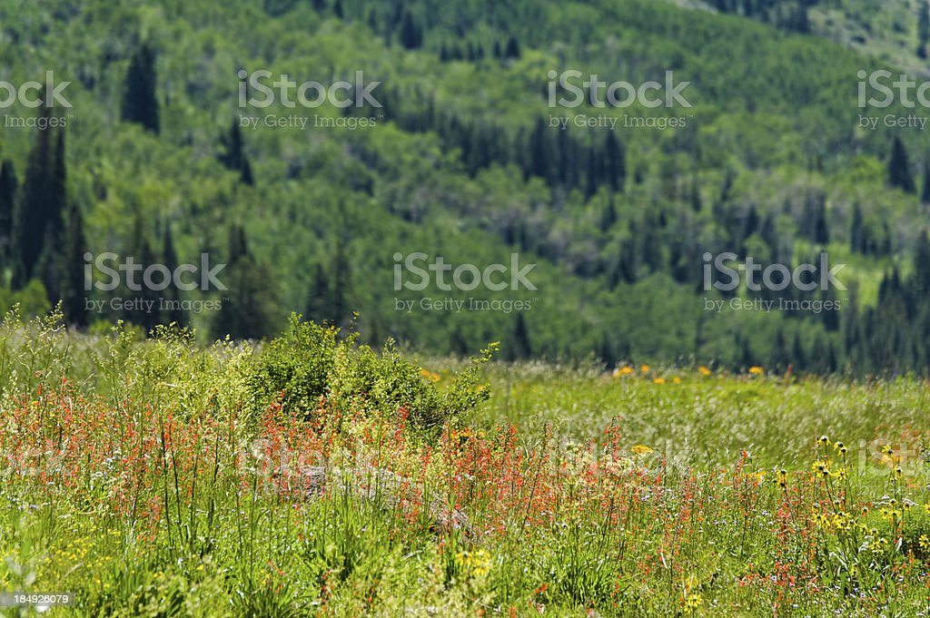 WIldflower Meadow in the Mountains royalty-free stock photo