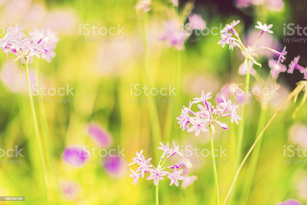 Wildflower Meadow royalty-free stock photo
