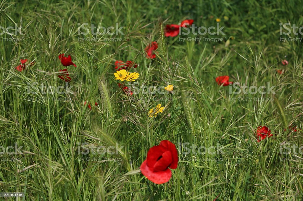 Wildflower meadow with red poppies in Cinque Terre, Italy stock photo
