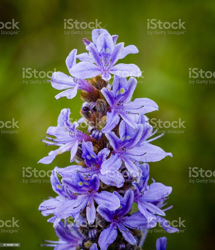 Wildflower Pickerel weed or rush in full bloom in Florida stock photo