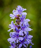 Wildflower Pickerel weed or rush in full bloom in Florida