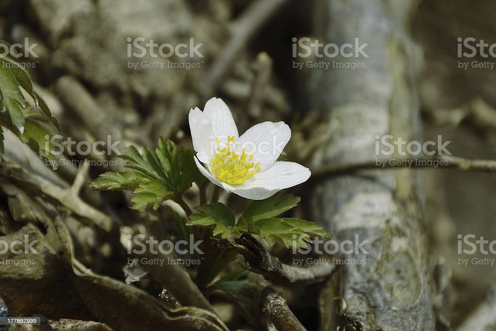 Wildflower royalty-free stock photo