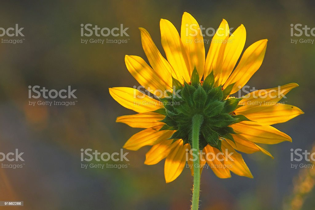 wildflower royalty-free stock photo