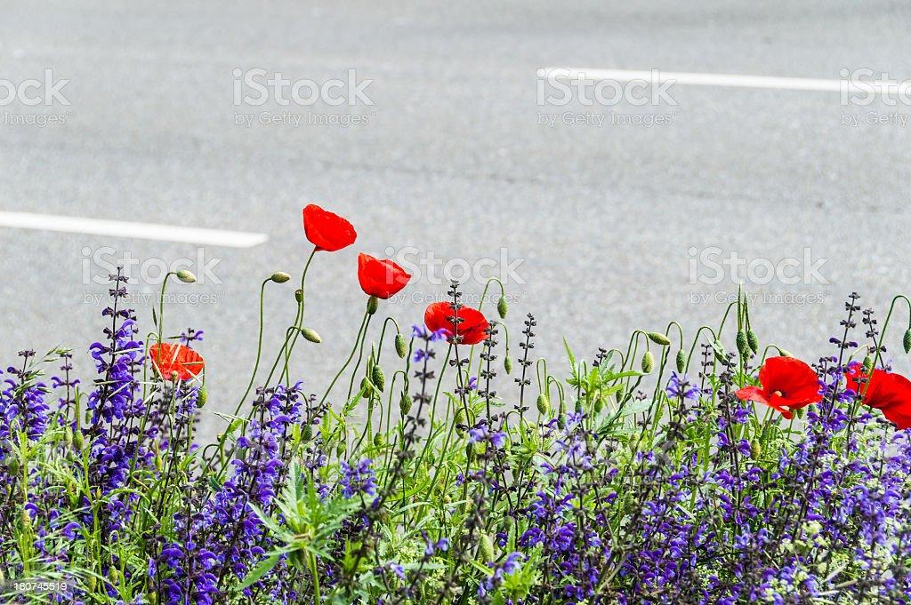 Wildflower Poppy Meadow at a Street stock photo
