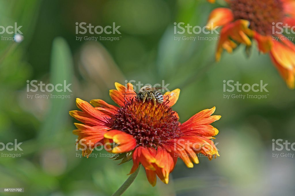 Wildflower with a bee stock photo