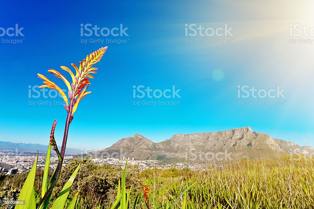 Wildflower with vista of Cape Town and Table Mountain stock photo