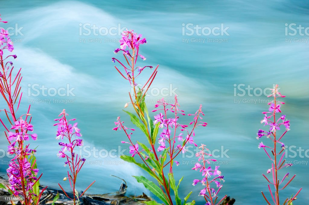 Wildflowers along glacial stream royalty-free stock photo