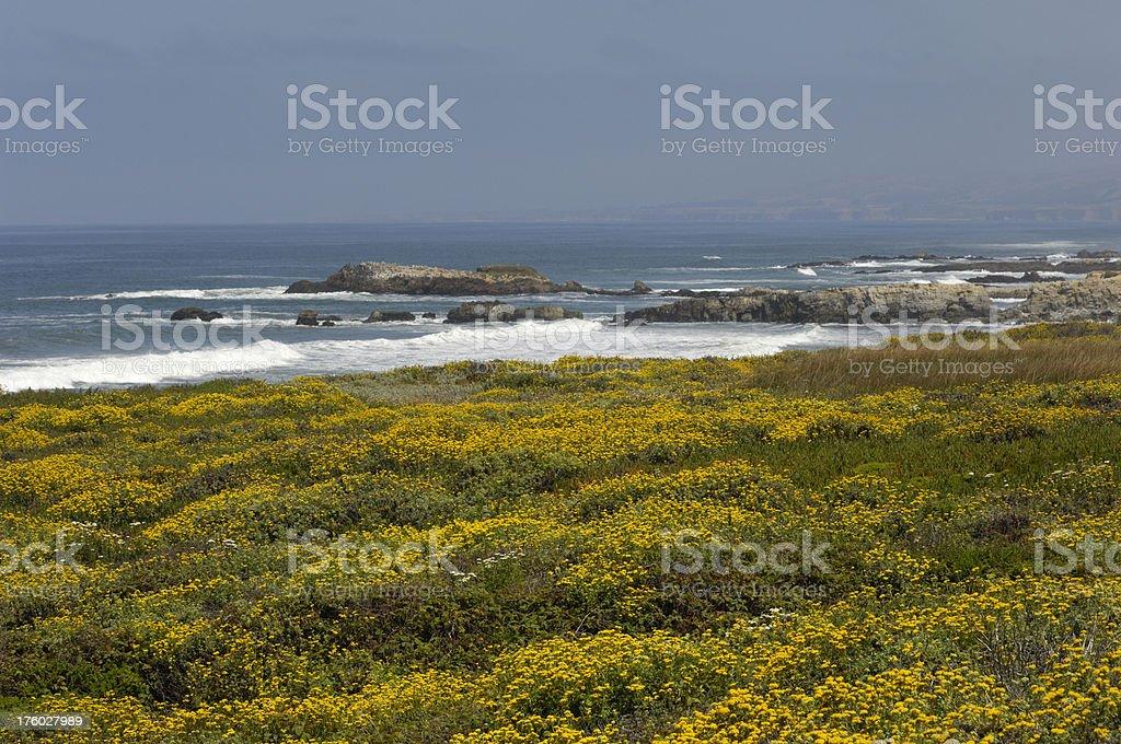 Wildflowers Along the Rocky California Coast royalty-free stock photo