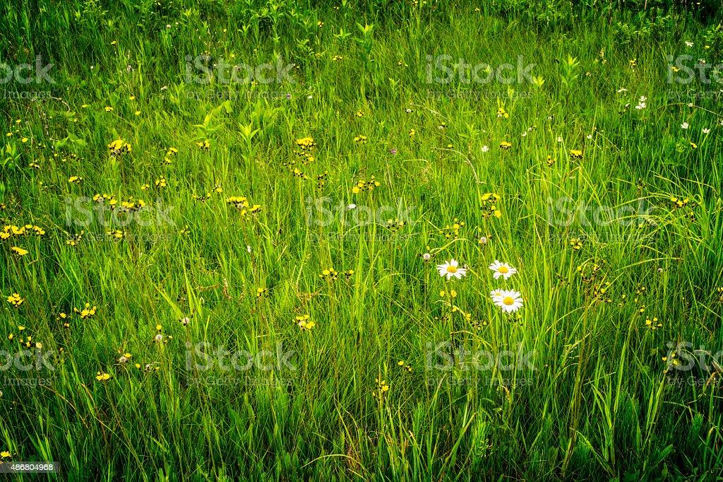 Flores e grama, Parque Nacional de Voyageurs foto royalty-free