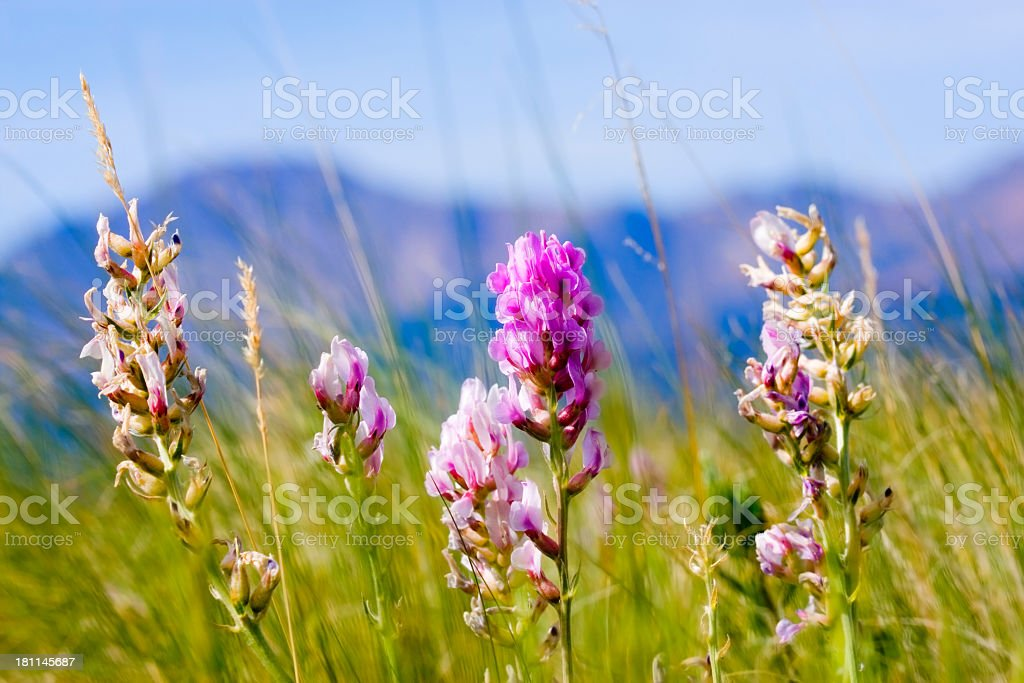 Wildflowers and Pikes Peak royalty-free stock photo