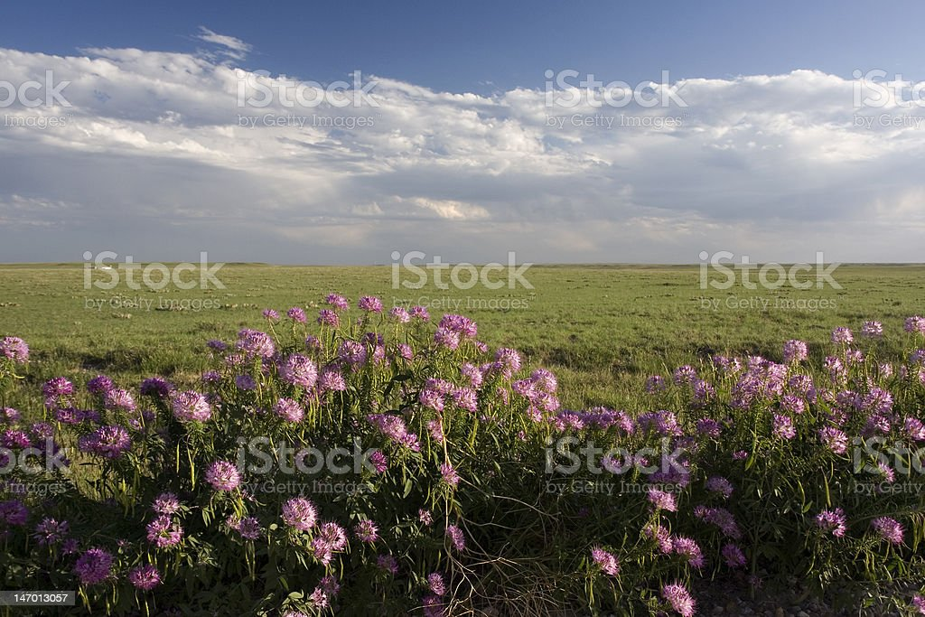 wildflowers and short grass prairie in Colorado stock photo