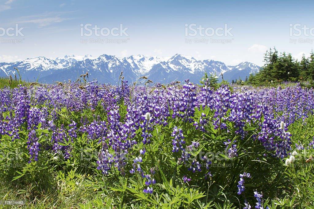 Wildflowers at Hurricane Ridge, Olympic National Park stock photo