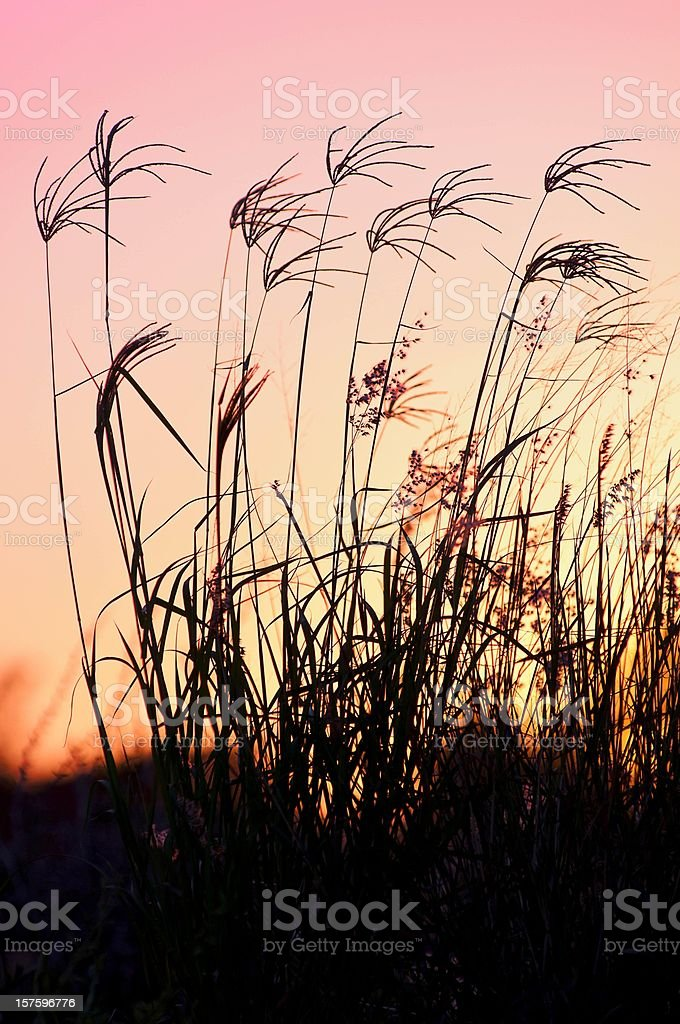 Wildflowers at sunset royalty-free stock photo